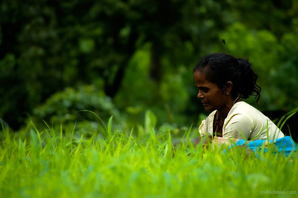 A woman working in a paddy field in a village in Tungareshwar, Maharashtra, India during monsoon