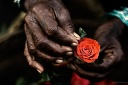 roses in the hands of a rose seller from dadar flower market mumbai india