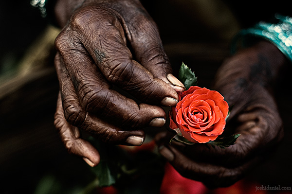A rose in the hands of a rose seller from Dadar flower market in Mumbai, India