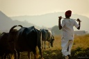 a villager heading back home after grazing cattle in malavli in maharashtra