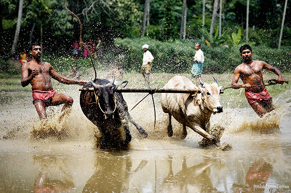 Photograph of men racing their oxen in the Maramadi festival held in Kalluvathukkal village in Kollam, Kerala