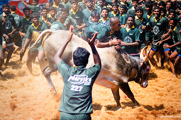 Jallikattu (bull taming sport) from Palamedu in Madurai district