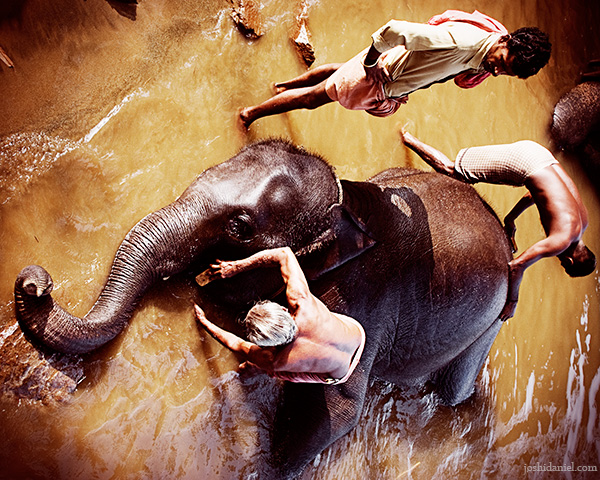 Mahouts bathing an elephant at the Kodanad elephant training center, Kerala
