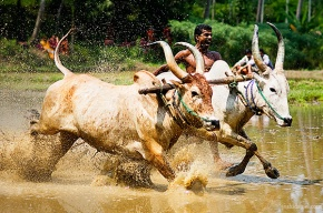 Photograph of Maramadi (Ox race) festival held in Kalluvathukkal village in Kollam, Kerala