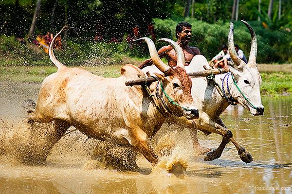 Photograph of Maramadi (Ox race) festival held in Kalluvathukkal village in Kollam, Kerala