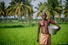 A farmer standing in the fields in Mangulam village, Madurai, while fertilising the field