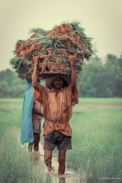 A farmer walking through fields in Hegde, Karnataka while holding a basket