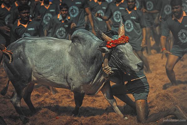 Jallikattu (bull taming sport) from Palamedu in Madurai district, Tamil Nadu