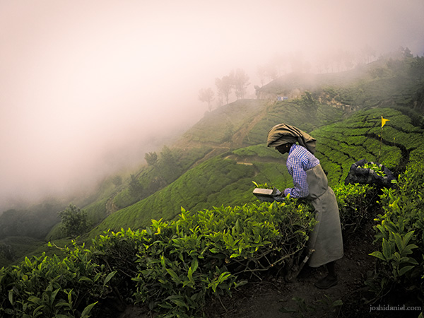 An estate labourer trimming the tea branches in Top Station, Munnar, Kerala