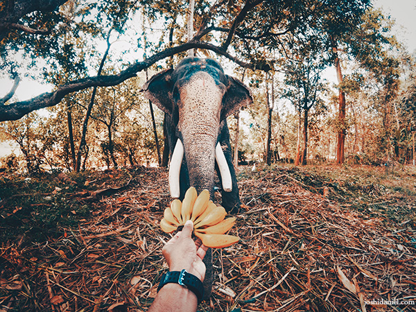 Feeding bananas to an elephant in Piravom, Kerala, India