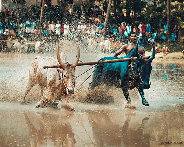 Maramadi (Ox race) festival held in Kalluvathukkal village in Kollam, Kerala