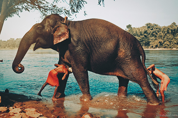 Mahouts bathing an elephant at the Kodanad elephant training center, Ernakulam, Kerala, India