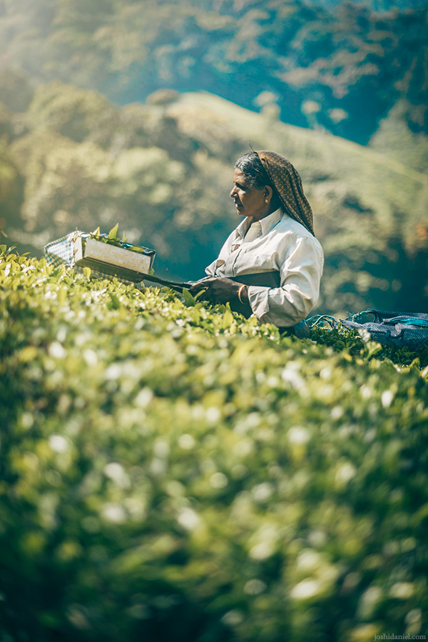 A tea estate worker from Top Station, Munnar, Kerala, India